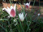 Pep tulips